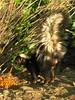 """Don't wave that tail at me!!! (Starlisa) Tags: park white black green animal fauna mammal furry stripes critter journey skunk yakima uniongap carnivora mephitidae img2317 yakimagreenway hiway97 yonderandback"
