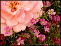Weekend (Kirsten M Lentoft) Tags: pink flower rose garden momse2600 infinestyle overtheexcellence lotsofxsandos mmmmuuaahhhhh kirstenmlentoft