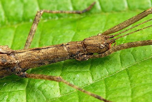 DSC_0036_Stick Insect (Asceles tanarata singapura)
