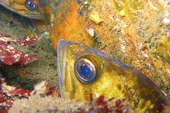 fisheye (lemurdillo) Tags: california fish fauna monterey scuba 2008 breakwater nightdive kelprockfish 200608 sebastesatrovirens dive164