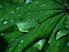 Drops (languitar) Tags: reflection green water leaves leaf drops raindrops ladysmantle