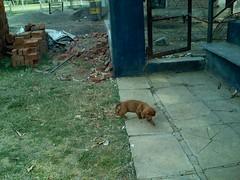 IMG_0181 (ashokbanker) Tags: baby hound willow basset ashok bankers