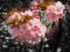Blossom (James Rye) Tags: pink colour tree green yellow james spring blossom olympus rye jamesrye stylus1000