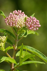 Swamp Milkweed (Mike Wacht Photography) Tags: park pink plant flower nature orlando florida blossom bud swampmilkweed orlandowetlandspark rosemilkweed whiteindianhemp swampsilkweed photobymikewacht