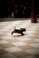 See Tekel Run (www.julkastro.co) Tags: light dog color art texture face contrast work canon out puppy photo jump foto photographer play small can dachshund professional perro fidel pro 5d canon5d salto create hurry fullframe fr mascota journalism fidelcastro habano accion tekel worshond julkastro juliancastro doxieus dackelorteckelger wienerdoghotdogus sausagedogukausnz teckelnl weeniedogussa jamnikpl jezevcikcz taxswe bassottoita wwwjulkastroco julkastrohotmailcom