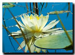 Lily Love (Marina Castillo) Tags: flowers flores azul photography fishing agua waterlily lily photos fotos canoeing fotografia lilypads bwcaw portaging boundarywaterscanoeareawilderness wenonah pentaxk10d islandriver latinastpaul marinacastillo isabellariver