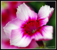 Si fragile (merlin600058) Tags: fleurs lovepeace lifeasiseeit mywinners platinumphoto flowerwatcher excellentsflowers 4mazingorgeoushotsoflowers flowersarefabulous mimamorflowers flickrflorescloseupmacros