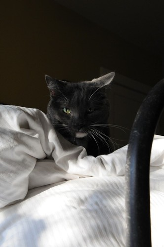 """Oreo, The Armstrong Hotel """"House Cat"""""""