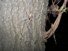 Ogrefaced (snakecollector) Tags: spinosa deinopis