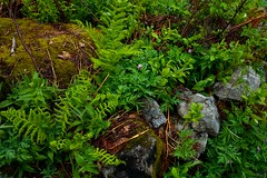Greenery (Nick Carver Photography) Tags: plants usa fern green nature rock horizontal forest landscape outdoors landscapes washington spring rocks serenity pacificnorthwest serene lush ferns desolate westcoast snoqualmie damp dennycreektrail mtbakersnoqualmienationalforest ncpfineartprint