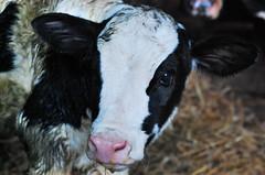 Moo (Hajari-stock*) Tags: pet baby white black cute animal nikon calf holstein friesian d40