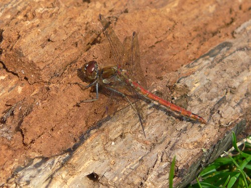Dragonfly in Russia Dock Woodland