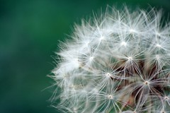 Dandelion dopo il PicNik (Michele Catania) Tags: trip family flowers flower macro art nature closeup canon soft with bokeh dandelion inside fiore soffione inverter canon1855mm invertedlens michelecatania 365bokeh