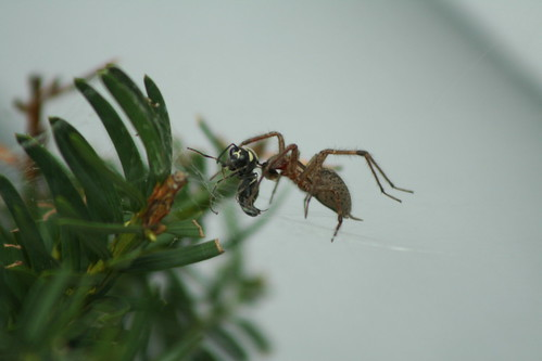 wasp, spider