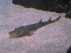 minnesota aquarium underwater mallofamerica bloomington attraction guitarfish