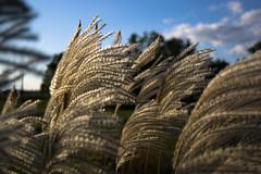 Fall Grasses, Fall Sky (nosha) Tags: sky fall nature beauty newjersey nikon dof bokeh nj creativecommons 2008 kerr mercercounty pennington miscanthus kerrs d40 miscanthussinensis nosha hbw