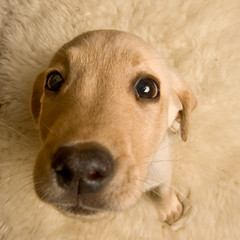 Dude, what's this big eye looking at? (ttstam) Tags: dog pet cute animal puppy lab labradorretriever yellowlabrador canoneos5d eos5d canonef1635mmf28lusmii