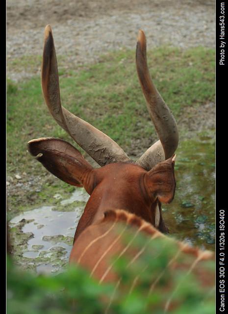 斑哥羚羊_Bongo_04