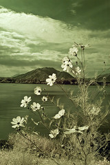 Kawaguchi Lake in Green with Cosmos (aeschylus18917) Tags: flowers red sky mountain lake flower macro tree nature japan season landscape ir nikon scenery seasons d70 nikond70 surreal mountfuji infrared  fujisan  infra  asteraceae cosmos yamanashi kawaguchiko cosmosbipinnatus asterales   bipinnatus heliantheae  yamanashiken yamanashiprefecture  kawaguchilake  danielruyle aeschylus18917 danruyle druyle