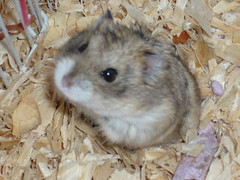 """""""How do I look?"""" (LawDIv) Tags: hamsters"""