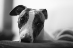 In your eyes (Dada Mar) Tags: portrait bw dog cute love beautiful 50mm eyes dof sad whippet explore zero galgo thelittledoglaughed