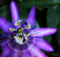 Another Passionflower (FLPhotonut) Tags: nature wow purple florida bokeh vine passionflower globalvillage outpost iloveit blueribbonwinner canon350xt goldenmix mywinners abigfave worldbest platinumphoto ysplix colourmafia theunforgettablepictures colourartaward macromarvels theperfectphotographer pfogold funfanphotos wonderfulworldofflowers rubyphotographer llovemypics flickrlovers worldnaturewildlife awesomeblossoms 100commentgroup simplythebest~flowers panoramafotogrfico doubledragonawards flphotonut