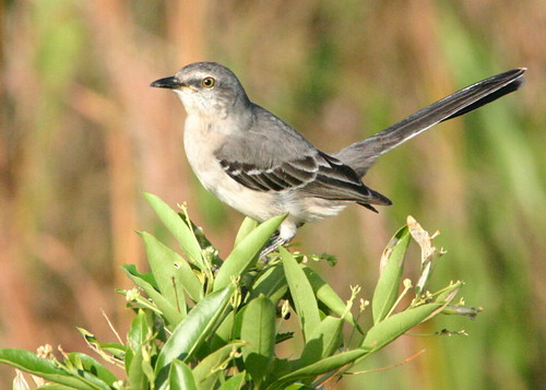 Northern Mockingbird 2008_10_31