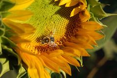 Hard at Work (mark willocks) Tags: arizona phoenix yellow bee sunflower thefarm upcoming:event=981998