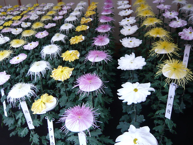 Big chrysanthemums