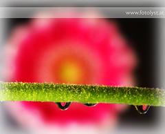 a flower an its drops (G.Hotz Photography (busy as a bee =)) Tags: portrait people food lake photography dornbirn feldkirch sterreich stillleben foto fotograf fotografie hard bregenz gerald photograph bodensee constance bludenz oesterreich vorarlberg produkt hotz hochzeitsfotograf ondarena fotolyst