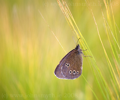 Ringlet butterfly on barley (in Galway)