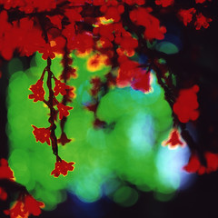 flowers, like blood (memetic) Tags: china street flowers trees light red colour green 6x6 night colorful bokeh beijing veins  colourful  provia sanlitun arteries lungs arax60  instense autaut