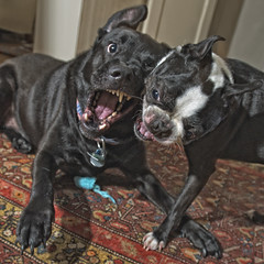 untitled (blogjam_dot_org) Tags: dog dogs bostonterrier nikkor 1735mmf28d dogfight anoushka pocketwizard misterpeabody squarephotograph