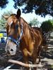 EL CABALLO DEL PARQUE MORELOS (Gioser_Chivas) Tags: animal caballo highfive amateurs galope mamifero abeauty parquemorelos amateurshighfive invitedphotosonly
