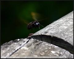 159_5990 (Ivan Darghan) Tags: canon rebel bee abelha mamangava