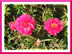 Portulaca grandiflora 'Sunnyside Cherry Red'