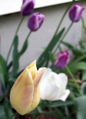 Tulips_51109