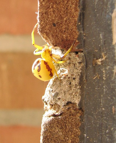 Brown Spider Yellow Spots http://www.blogsmonroe.com/nature/2009/09/