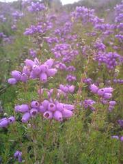 Purple Haze (fingeronthebutton) Tags: grass rock scotland purple angus heather hill glen grasses glendoll