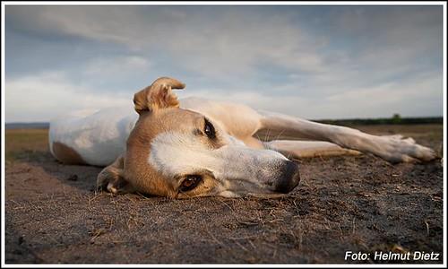 Hungarian Greyhound - Magyar Agar - Ungarischer Windhund