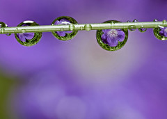 Flower droplets (hauken87) Tags: droplet droplets flower purple macro olympus 50mm norway norge yahoo:yourpictures=elements strobist drop reflection stacking