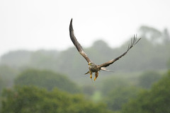 Red Kites Larking Around In The Rain !!! +10 In Comments (Gareth Scanlon) Tags: uk school red summer sky food orange brown mountain kite playing black tree green bird wet field rain weather june wales ed fly nikon carmarthenshire play open sheep bokeh group flight wide dive bad beak 300mm raptor hedge tc twig if pro prey 300 buzzard nikkor brecon beacons common gareth scanlon f4 dgs afs talons 2x in x2 buteo milvusmilvus kenko teleconvertor of brynamman d300s garethscanlon buteobuteoo