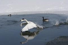 SPIRIT OF THE WILD (Gurly Hardin The Light Catcher) Tags: chicago garden photography swan botanic hardin trumpeter gurly