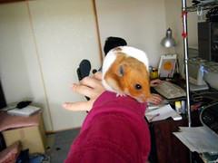 20080302 - 02 (kayako_) Tags: hamster pon
