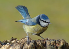 These Little Tits are just so comical (Missy2004) Tags: bird newforest bluetit eyeworthpond beautifulworldchallenges