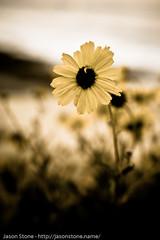 emo daisy (JsonStone) Tags: flowers plants daisies canon rebel explore daisy naturesfinest xti 400d rebelxti canonrebelxti canon400d canonxti diamondclassphotographer flickrdiamond goldstaraward
