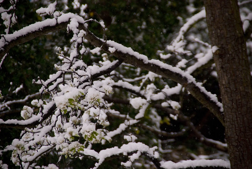 Tree, branches covered in snow