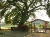 竹山鎮中和里救人老茄苳樹DSCN6056