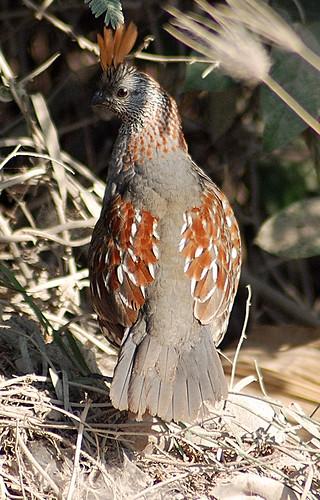 Elegant Quail by bird-aholic.