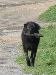 It's only a stick (TELPortfolio) Tags: newzealand dog wellington teraekaihau 10millionphotos jalalspagesanimalkingdom